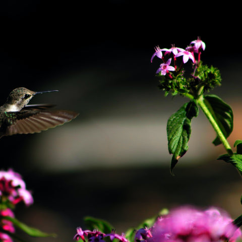 What Is The Lifespan Of A Hummingbird