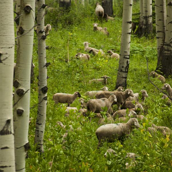 Colorado Spring Lamb Meat Packages