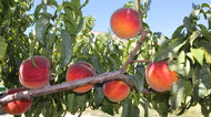 Colorado Peaches - Tree Ripened - Out of Stock
