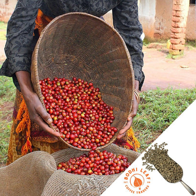 Ethiopia Hadeso Gr. 1 Natural - Green-Bodhi Leaf Coffee Traders