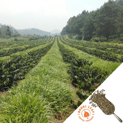 Guatemala Chichen - Green-Bodhi Leaf Coffee Traders