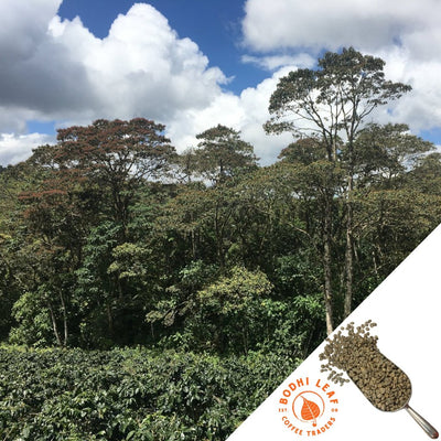 Nicaragua Limoncillo Red Pacamara Natural - Green-Bodhi Leaf Coffee Traders
