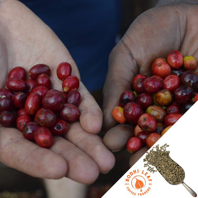 Rwanda Gashonga Washed - Green-Bodhi Leaf Coffee Traders