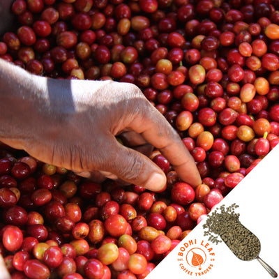 Burundi Butegana Natural - Green-Bodhi Leaf Coffee Traders