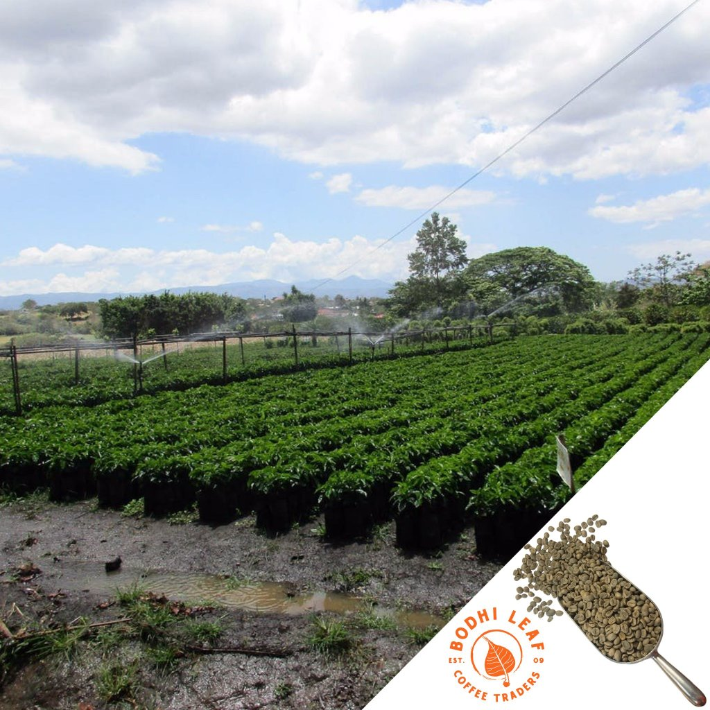 El Salvador Finca La Providencia Natural - Green-Bodhi Leaf Coffee Traders