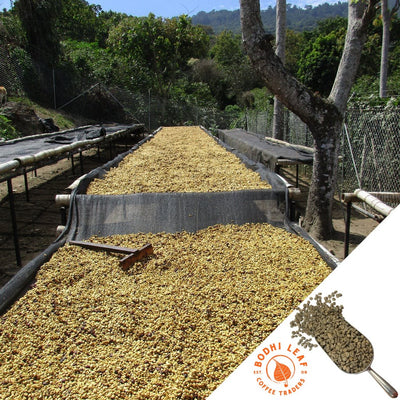 El Salvador Colomba Red Honey - Green-Bodhi Leaf Coffee Traders