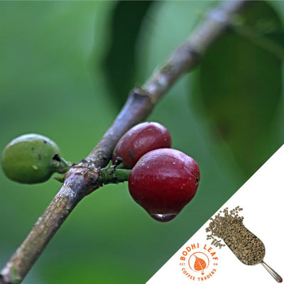 Ethiopia Guji Majo Natural - Green-Bodhi Leaf Coffee Traders