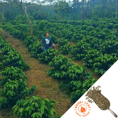 Honduras La Lupita - Green-Bodhi Leaf Coffee Traders