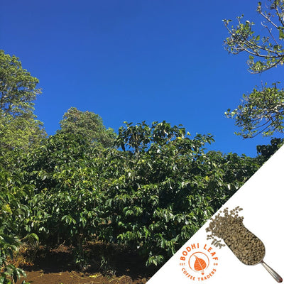 Panama Finca Santa Teresa Natural - Green-Bodhi Leaf Coffee Traders