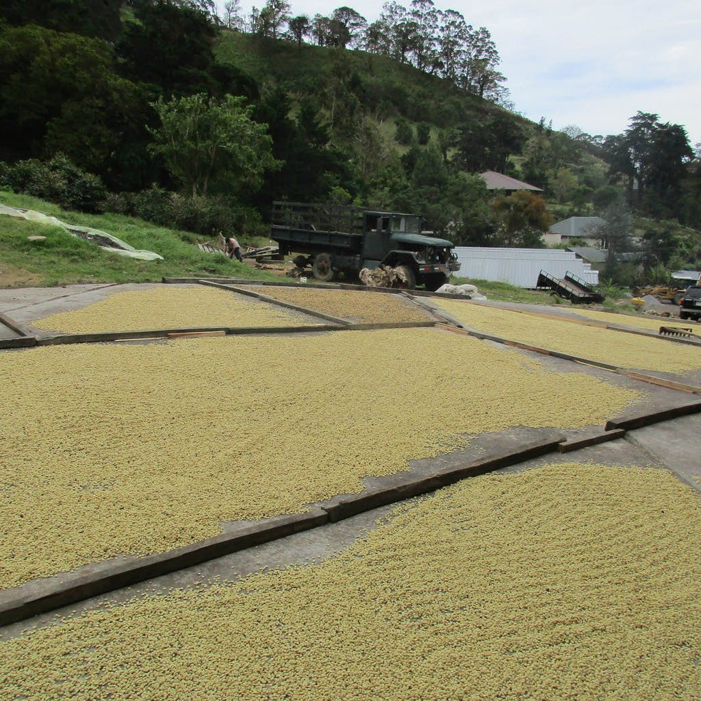 Peru Organic Decaf Bodhi Leaf Coffee Traders