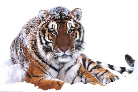 Siberian Tiger In The Snow Poster 16x20