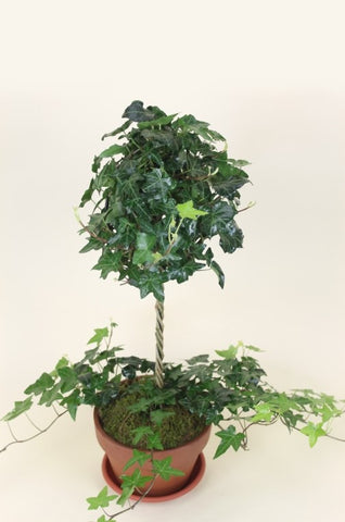 English Ivy Topiary Plant