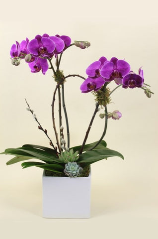 Double Orchid Plant With Succulents