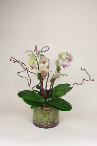 Triple Stem Orchids