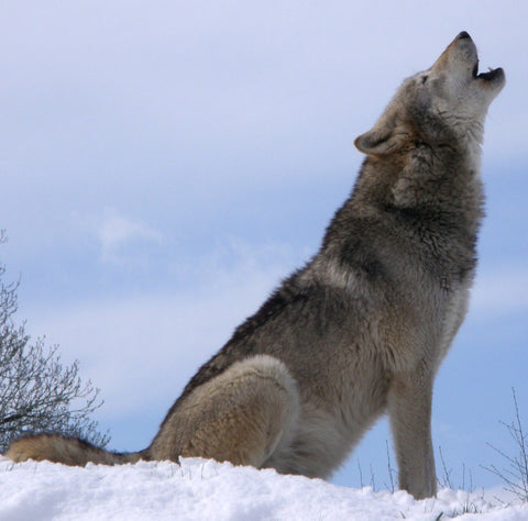 North American Gray Wolf by Wikimedia.org