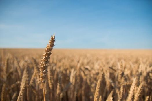 Why Organic Einkorn Wheat? History, Health, and Cooking Tips