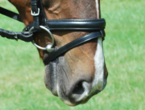 "Red Barn TRAVERS 1 1/4"" Round Raised Padded Noseband"