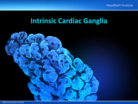 interconnected intrinsic cardiac ganglia - 480×361