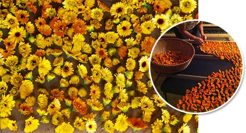 Calendula in the Herb Drying Room at Avena Botanicals