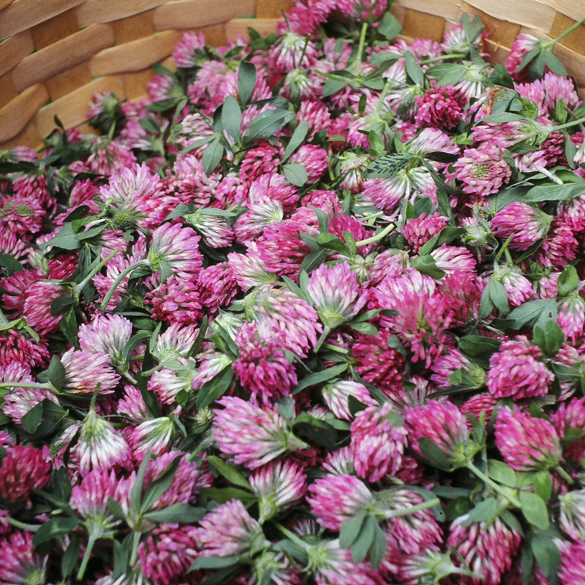Red Clover Tincture Avena Botanicals