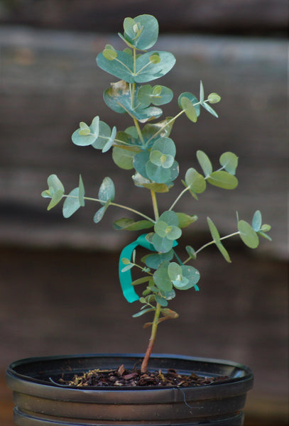 Cold Hardy Eucalyptus Trees For Sale Southerneucs