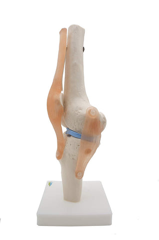 Kouber Anatomical Knee Joint Model