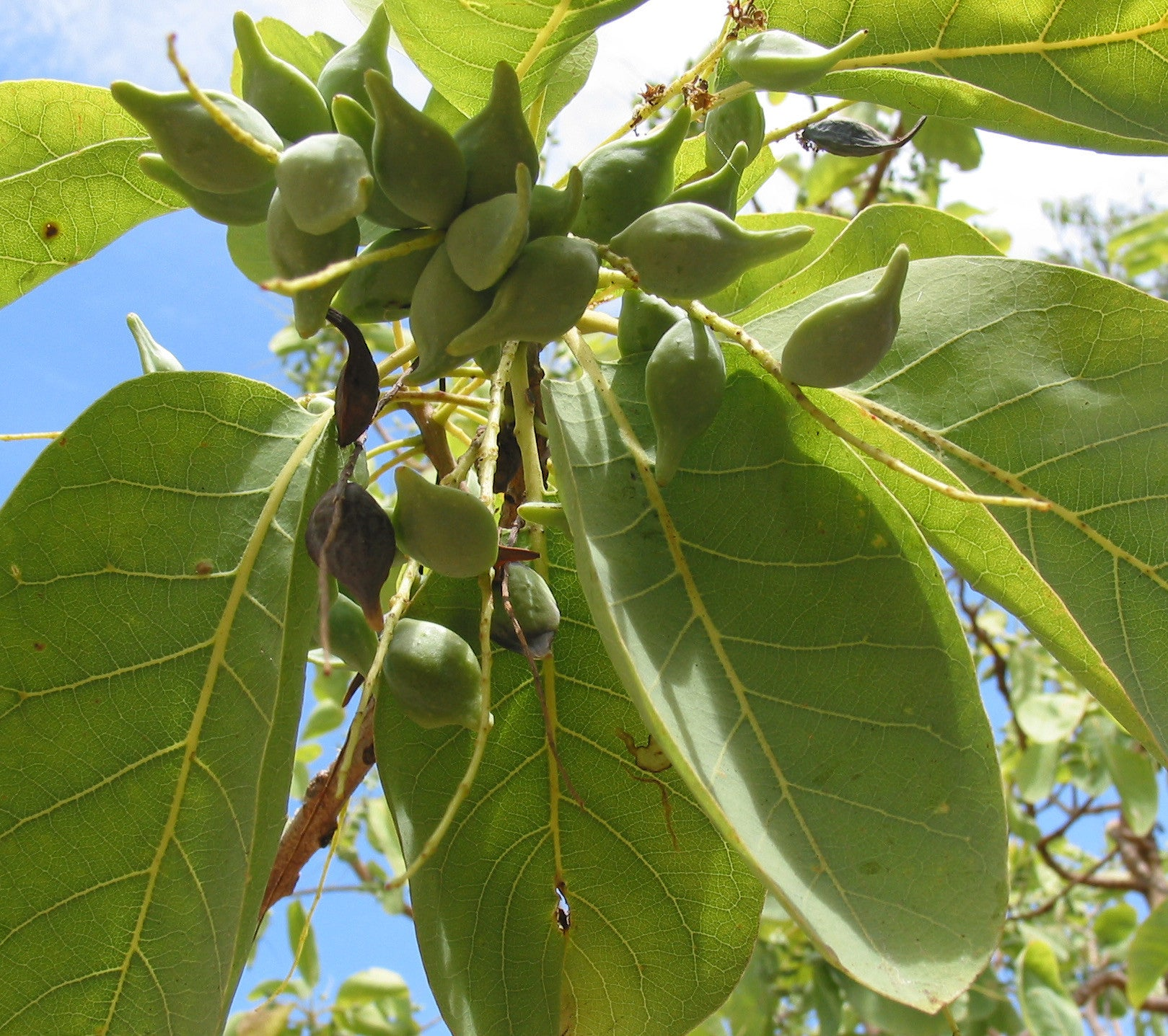 Kakadu Plum - The Australian Superfruit!