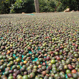 Organic Black Pepper drying naturally in the sun