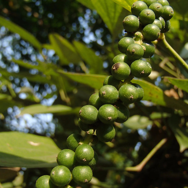Organic Pepper on the vine - these immature green pepper berries will soon be harvested for making black pepper
