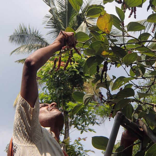 Babu, one of our pepper farmers in Idukki, picking pepper by hand from the vine