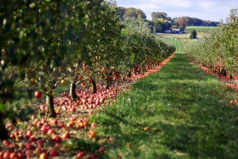 Cider Orchard Devon
