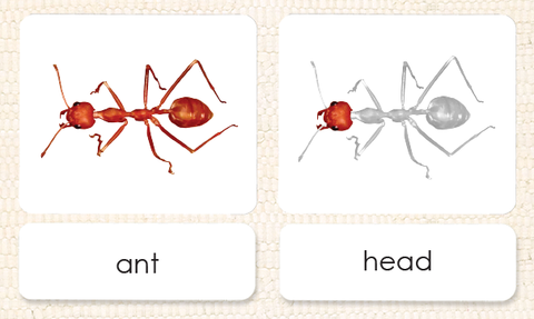 """Parts of"" the Ant <p>3-Part Reading - Maitri Learning"