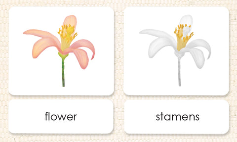 """Parts of"" the Flower (Dicot) 3-Part Reading - Maitri Learning"