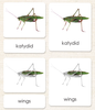 """Parts of"" the Katydid<p>3-Part Reading - Maitri Learning"