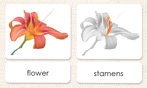 "Imperfect ""Parts of"" the Flower (Monocot) 3-Part Reading - Maitri Learning"