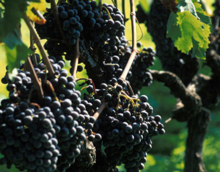 Sicilian Wines and Grapes