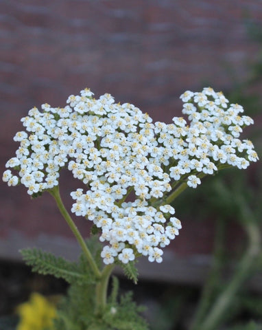 Common Yarrow Seeds