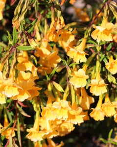Sticky Monkey Flower Seeds