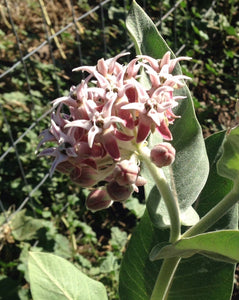 Showy Milkweed Seeds