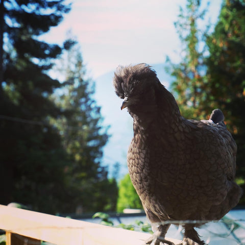Silkie hen chicken standing on a fence in the country.
