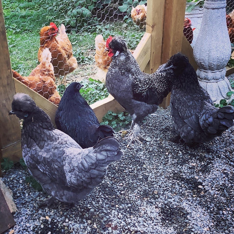 Chickens milling about on two sides of the gate.