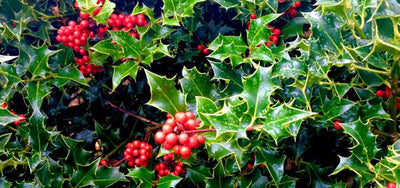 Why is holly used at Christmas?