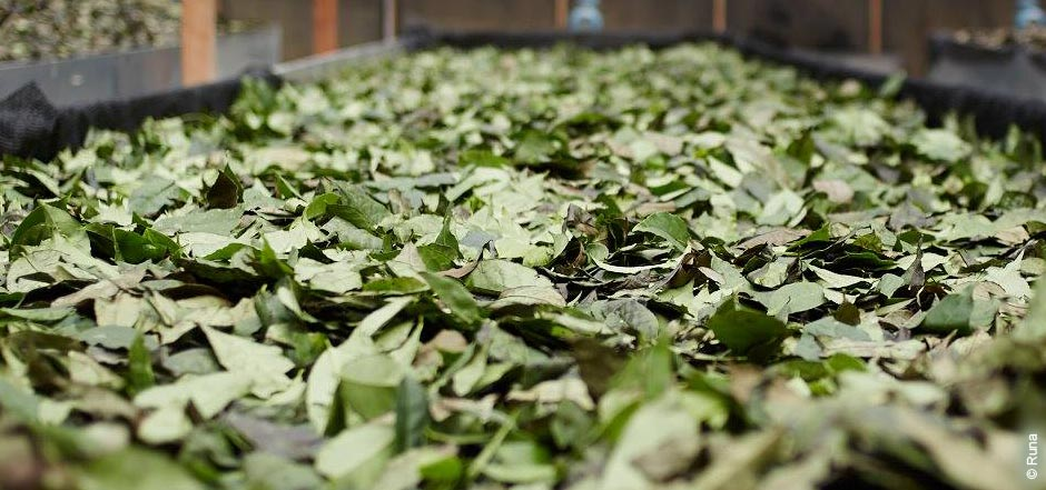 Guayusa tea drying out at the factory