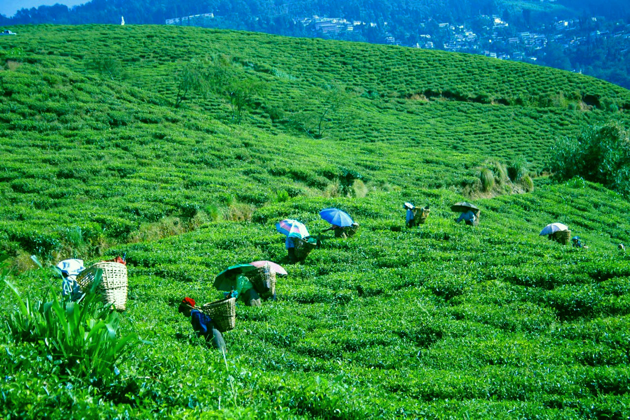 Tea leaves being harvested in Darjeling