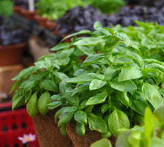 Basil tray at Sage Garden