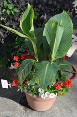 Canna Lily in a container