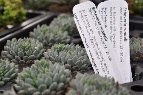Echeveria plants at Sage Garden