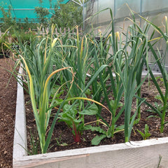 Garlic in a raised bed at Sage Garden