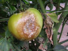 Late blight on tomato fruits (photo from University of Minnesota Ag Extension)