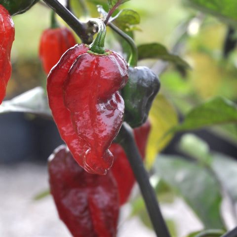 Ultra hot peppers are often hybrids